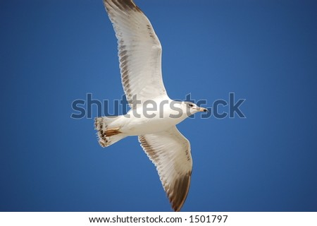 Seagull soaring over Ponce Inlet Florida beach - stock photo