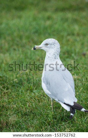 Seagull standing in a grass field