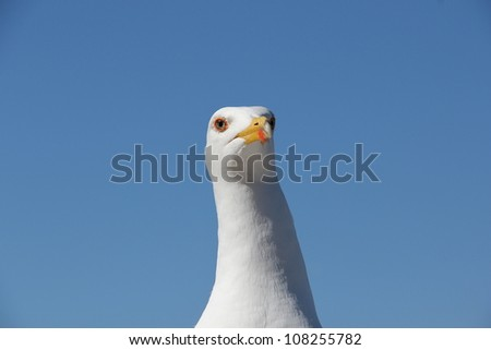 Seagull Stare. A closeup pf a large seagull head and neck, with good detail of the face and eyes. Blue sky background. This bird was not impressed. - stock photo