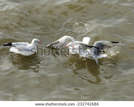 Seagull three steals eat food in the water - stock photo