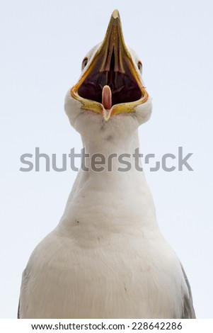 Seagull white with open beak in Rome - stock photo