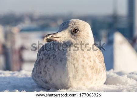 Seagull with winter Tallinn at the background, Estonia - stock photo