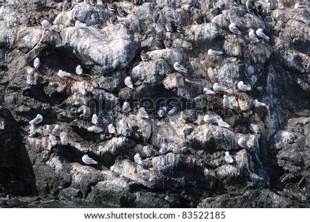 Seagulls at Gull Rock near Homer Alaska - stock photo
