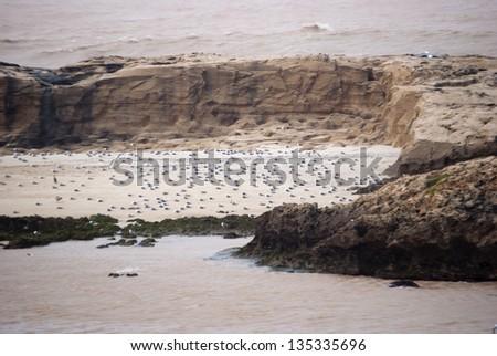 Seagulls Colony in Essaouira, Morocco - stock photo