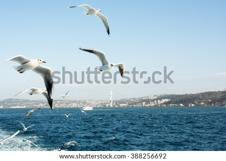 Seagulls flying in Bosphorus in Istanbul sky
