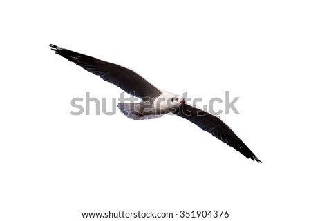 Seagulls flying isolated on a white background,with clipping path - stock photo