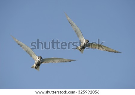 Seagulls flying on the Gulf of Thailand