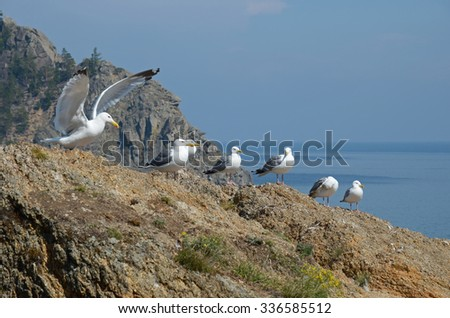Seagulls - lat. Laridae, sitting in a row on the hill over the Lake Baikal. Russia