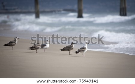 Seagulls on the beach in Hermosa watching the waves break on the shore waiting for food - stock photo