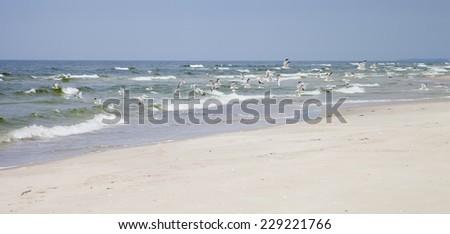 Seagulls on the shore, Baltic Sea,  Lithuania  - stock photo
