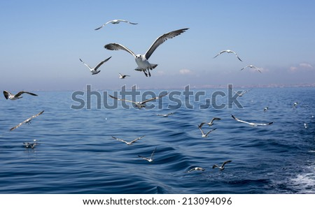 Seagulls. Sea of Marmara, Adalar
