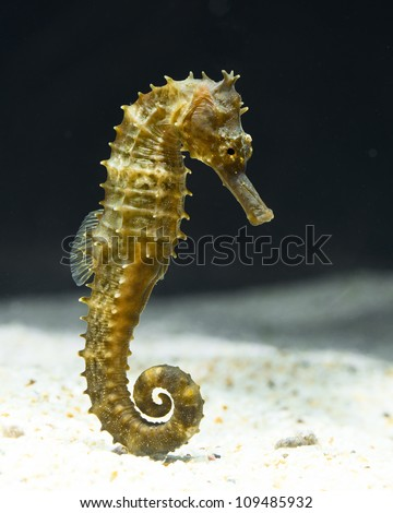seahorse (Hippocampus) swimming  on black. - stock photo