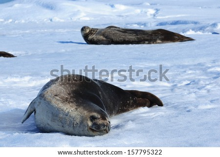 Seal and Antarctic. - stock photo