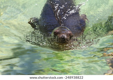 Seal at the zoo swimming in the water - stock photo