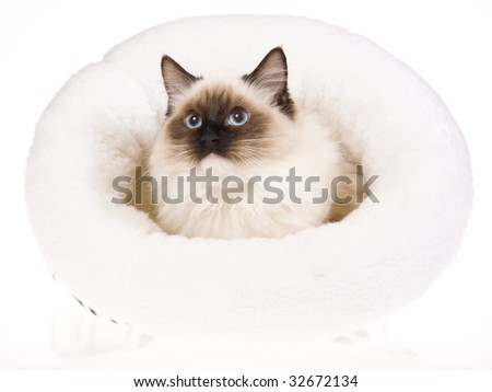 Seal mitted Ragdoll in white fur bed, on white background - stock photo