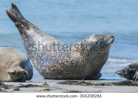 seal on a beach - Helgoland, Germany