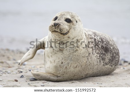 Seal On The Beach By The Water - stock photo