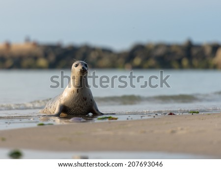 Seal on the beach of Helgoland