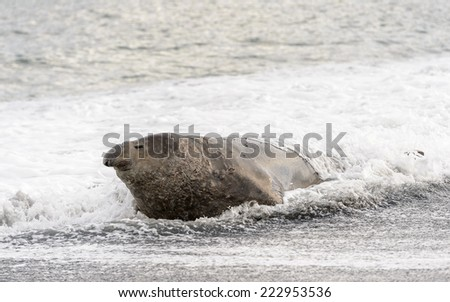 Seal on the coast of South Georgia - stock photo