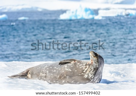 Seal on the ice - stock photo