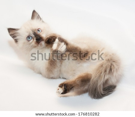 Seal point kitten with blue eyes , licking hind paw on white background - stock photo