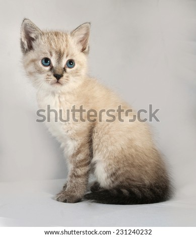 Seal point kitten with blue eyes sitting on gray background