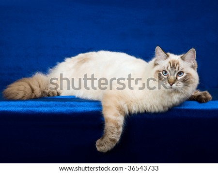 Seal point lynx Ragdoll on blue fabric background - stock photo