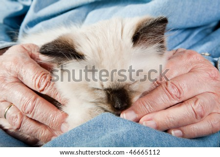 Seal point mitted ragdoll kitten held by the hands of an old woman - stock photo