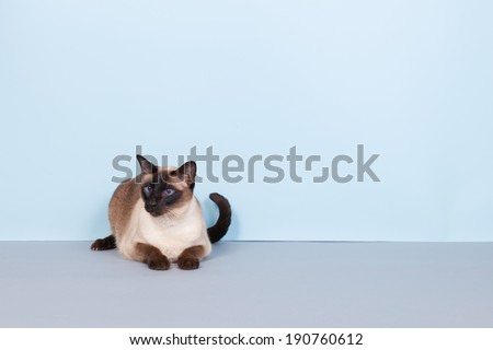 Seal point Siamese cat with blue eyes on gray background - stock photo