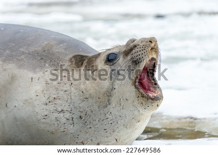Seal screams in South Georgia - stock photo