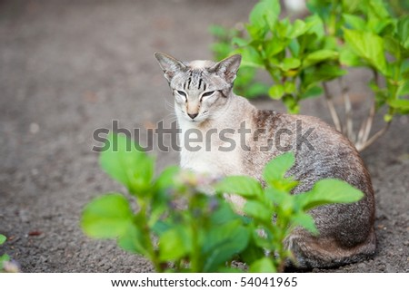Seal tabby point siamese pure breed cat in the garden - stock photo