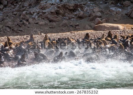 Sealions on the seashore with waves and sea spume - stock photo