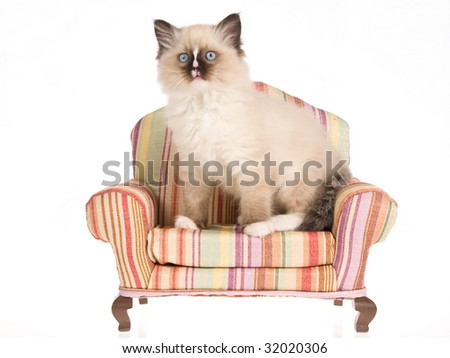 Sealpoint Ragdoll kitten sitting on striped miniature sofa, on white background - stock photo