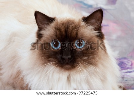 Sealpoint Ragdoll on pink lilac floral background