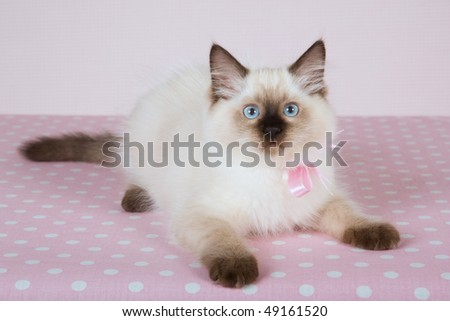 Sealpoint Ragdoll with pink bow on polka dot background