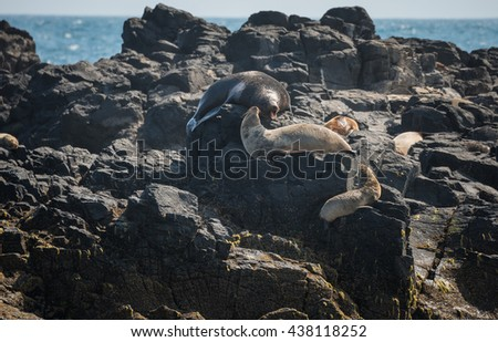 Seals at the rock island the biggest seals colony near Phillip island of Victoria state of Australia. - stock photo