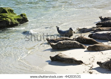 Seals sunning on Seal Beach in La Jolla, California - stock photo