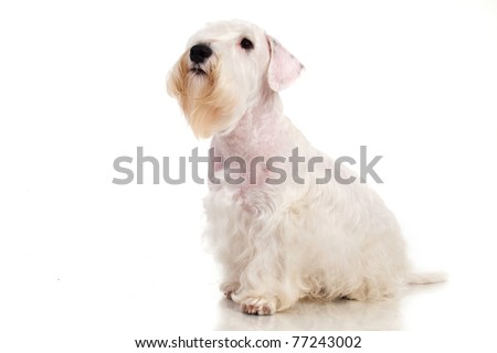 Sealyham Terrier isolated on white - stock photo