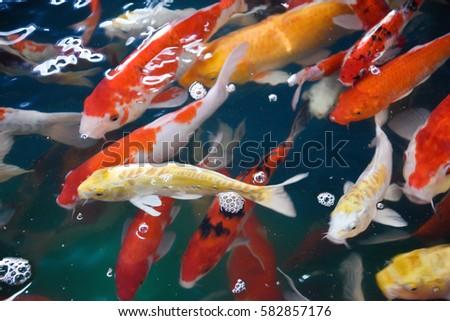 Koi carp stock images royalty free images vectors for Pool koi aquatics ltd