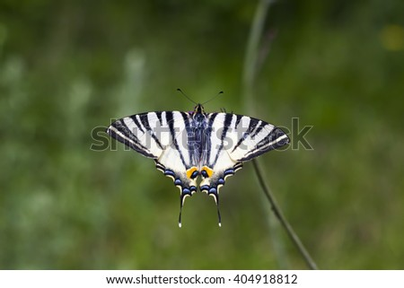 Seamless nature background. Swallowtail Butterfly (Papilio machaon) on a dry branch of wild flower - stock photo