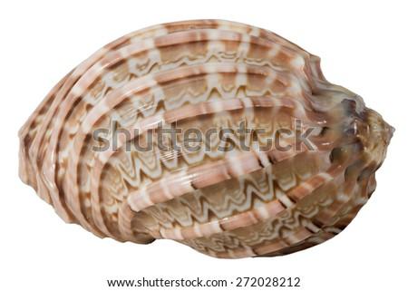 seashell harpa articularis macro isolated on white - stock photo