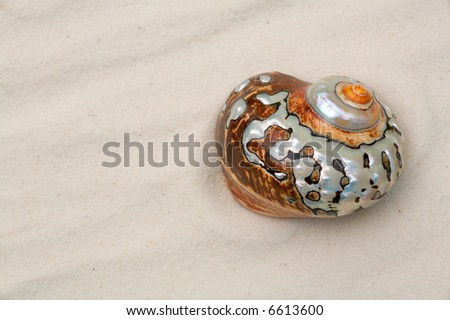 seashell in the white sand