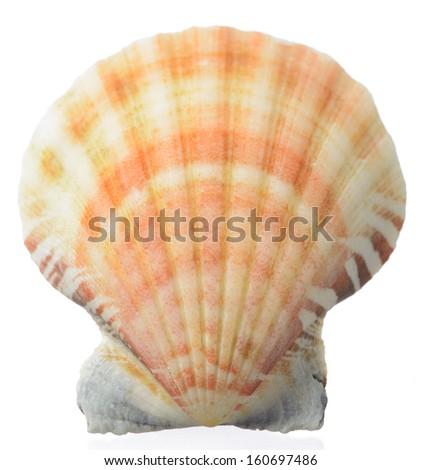 Seashell isolated on white background  - stock photo