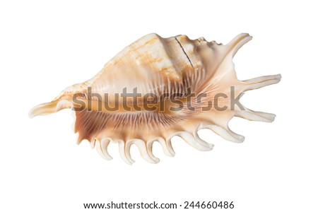Seashell isolated on white background - stock photo