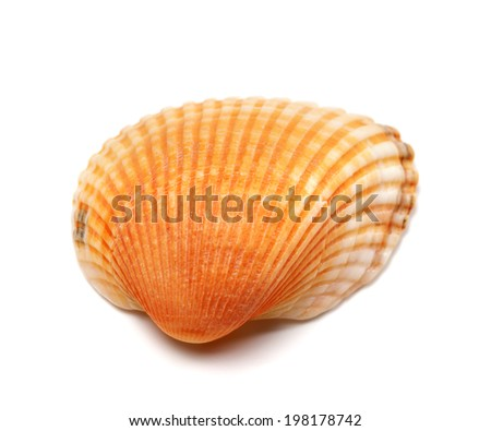 Seashell isolated on white background. Close-up view. - stock photo