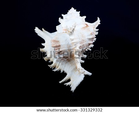 Seashell murex ramosus. A perfect and amazing rural shell on black blackground, one white shell isolated on black background - stock photo