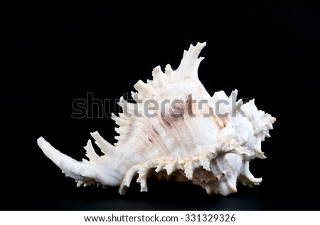 Seashell murex ramosus. Seashell murex ramosus, A perfect and amazing rural shell on black blackground, one white shell isolated on black background - stock photo