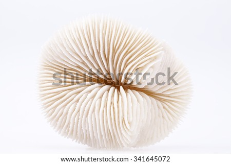 seashell of Fungia  isolated on white background, close up.