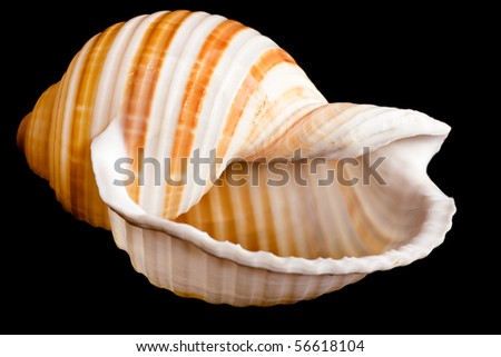 seashell on black background