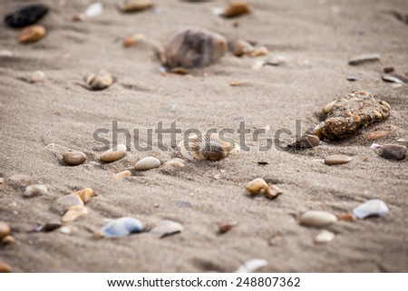 Seashell on the sand of the seashore with other  little seashell and pebbles - stock photo